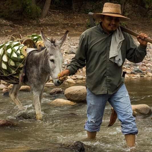 donkey and espadin piñas oaxaca