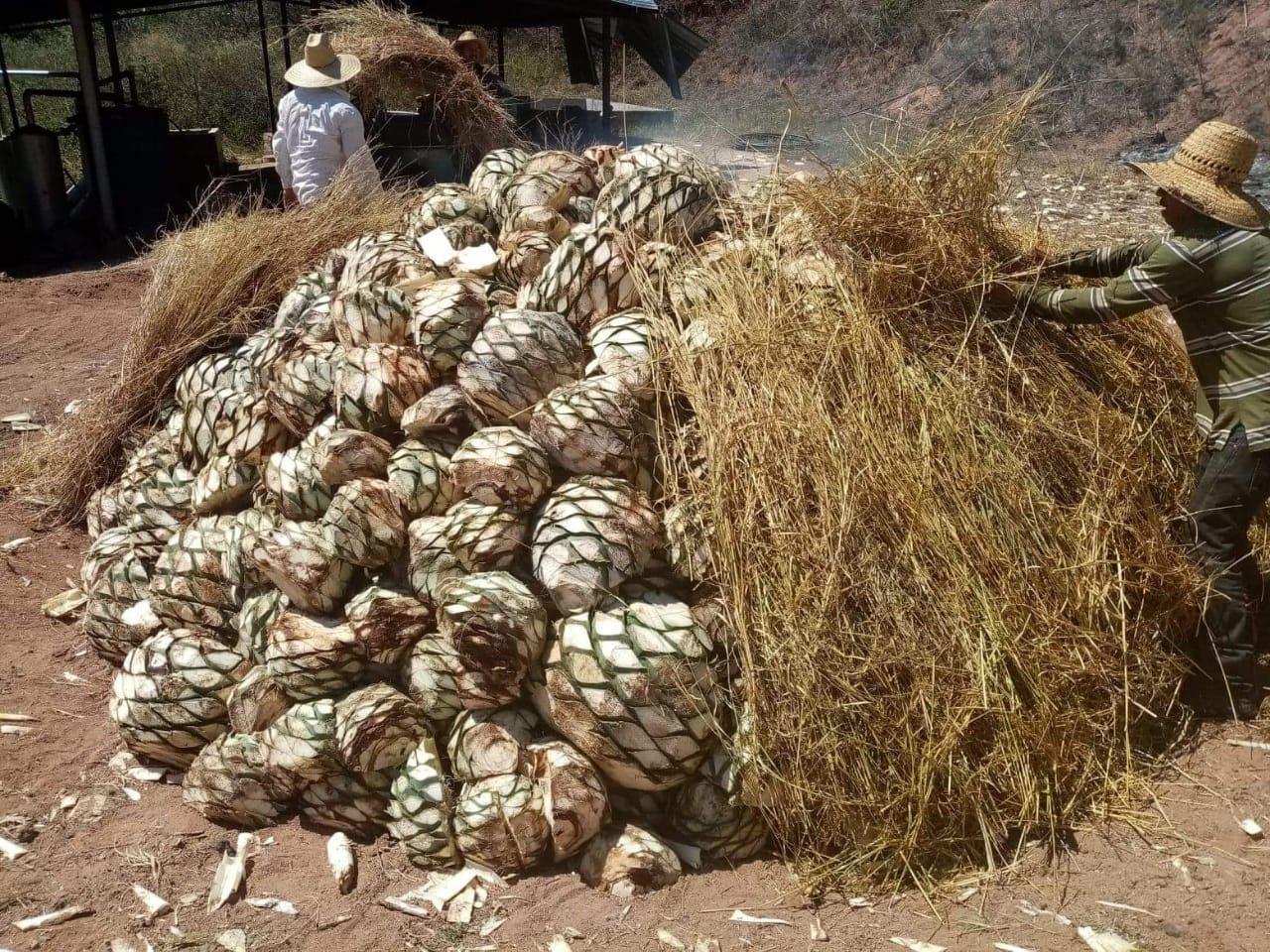 manso harvest piñas